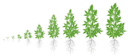 Fototapeta Growth stages of hemp plant. Marijuana phases set. Cannabis indica ripening period. The life cycle. Weed Growing. Isolated vector illustration on white background.