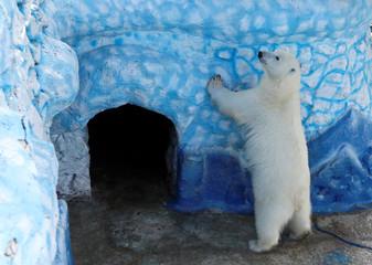 A polar bear plays at a zoo in Krasnoyarsk