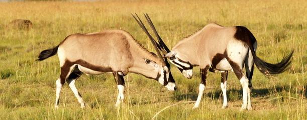 Poster Antelope Oryx - Gemsbock
