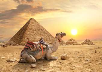 Photo sur Plexiglas Chameau Pyramids of Giza