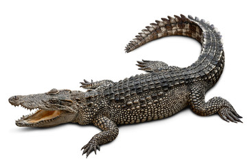 Fotobehang Krokodil Wildlife crocodile isolated on white background with clipping path
