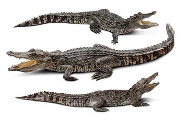 Poster de jardin Crocodile Group of wildlife crocodile isolated on white background with clipping path
