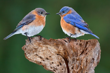 A Bluebird Pair Fotoväggar