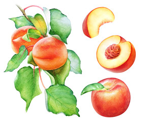 Watercolor peach tree branch with fruits and leaves.