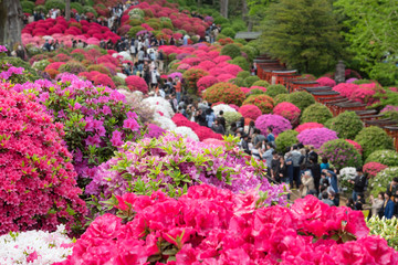 Foto auf Acrylglas Azalee Azalea Festival at Nezu Shrine in Tokyo, Japan 色とりどりのツツジが咲く日本庭園