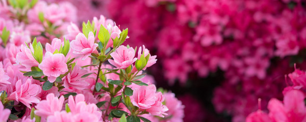 Deurstickers Azalea Pink azalea flowers background ピンク色のツツジの花 背景