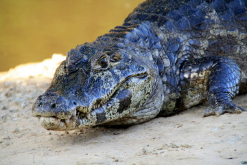 Acrylic Prints Crocodile furchteinflößendes Krokodil