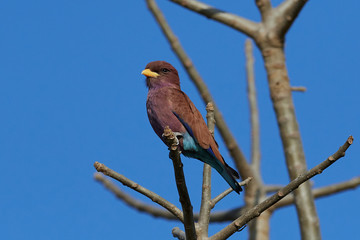 Broad-billed roller (Eurystomus glaucurus)