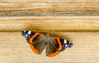 Foto auf AluDibond Schmetterlinge im Grunge Admiral butterfly on the tree