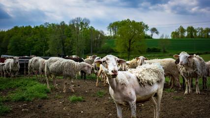 Mouton dans un prés