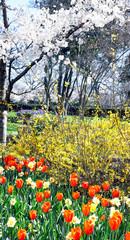 Aluminium Prints Tulip Springtime Flowers.