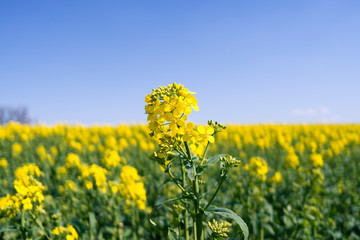Plants / Ponitz / Germany: Rapeseed blossom in front of a blooming rapeseed field in rural Eastern Thuringia in April