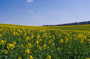 Ponitz / Germany: View over a blooming rapeseed field in Eastern Thuringia in April