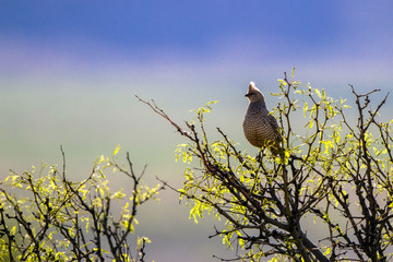 Scaled Quail in spring, backlit at dawn