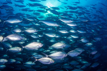 Wall Mural - A large school of predatory Jacks in a blue ocean above a tropical coral reef