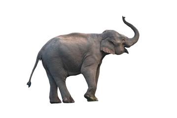 Asian elephant isolated on white background (female)