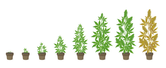 Growth stages of hemp potted plant. Marijuana phases set. Cannabis indica ripening period. The life cycle. Weed Growing in a pot at home. Isolated vector illustration.