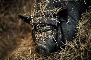 Ein Hängebauchschwein namens Elfriede