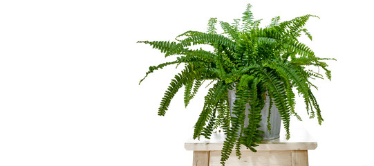 """Studio photo shoot of a Nephrolepis exaltata """"Boston fern"""", on a white background with copy space."""