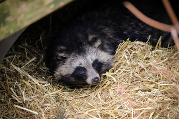 Racoon Dog in Straw