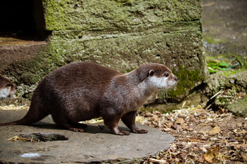 Otter at a farm