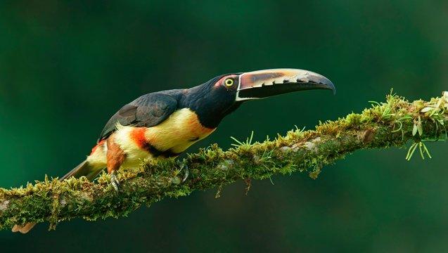 Collared aracari (Pteroglossus torquatus) sits on mossy branch, Costa Rica, Central America