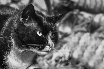 A black and white photo of a beautiful adult young black and white cat with big eyes