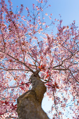 Huge Cherry Tree in Bloom / Low angle view up at tall tree trunk to branches full of cherry blossoms and blue sky