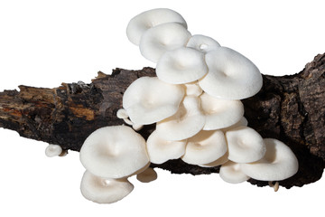 Mushroom group on a white background timber