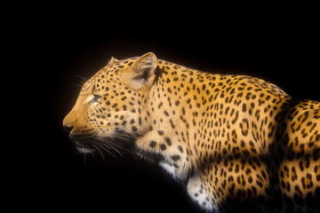 Photograph of a leopard at the National Zoological Gardens of South Africa