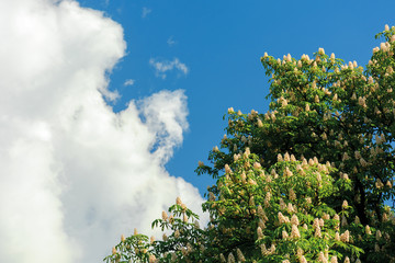 branches of chestnut tree in blossom.  beautiful summer nature scenery. blue sky with fluffy clouds on the background