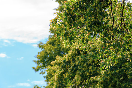 branches of linden tree in blossom. beautiful summer nature scenery. background with blurred clouds on a blue sky
