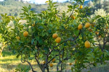 Zitronen | Mallorca