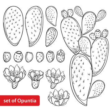 Set with outline cactus Indian fig Opuntia or prickly pear plant, fruit, flower and stem in black isolated on white background.