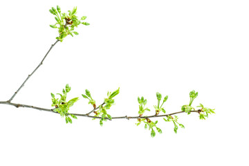 Cherry tree branch with fresh leaves and flower buds