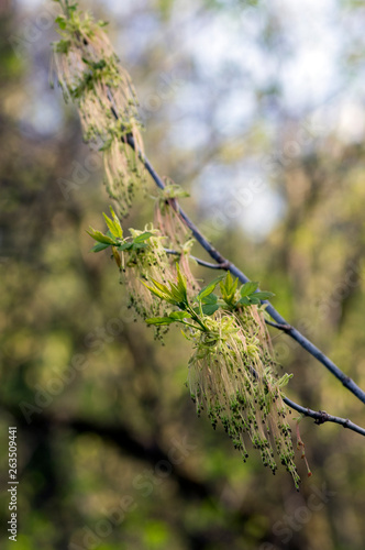 Acer Negundo Flowering Tree Branches Amazing Green Red Flowers In