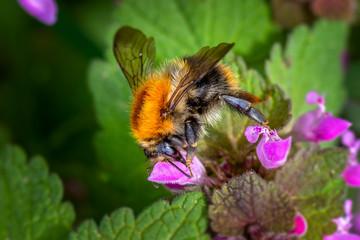 The field bumblebee (Bombus pascuorum)