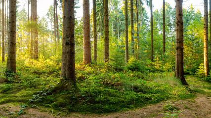 A wonderful morning in a forest with bright sunlight in the background