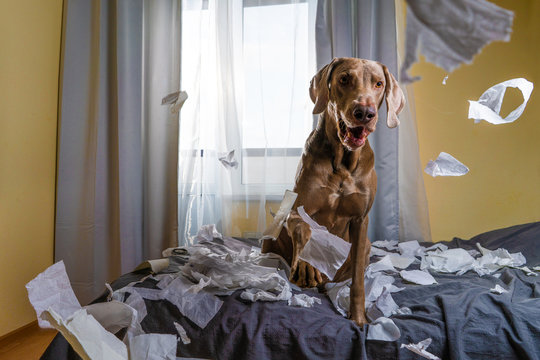 Weimaraner dog the dog is playing on the bed. ripped the paper. naughty but playful dog portrait.