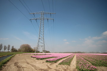 Fields with rows of pink tulips in springtime for agriculture of flowerbulb on island Goeree-Overflakkee in the Netherlands