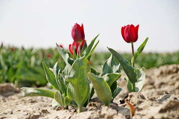 Fields with rows of red tulips in springtime for agriculture of flowerbulb on island Goeree-Overflakkee in the Netherlands