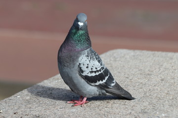 Pigeon in gray and green searching for food in the city