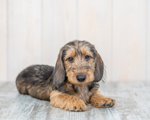 Brown wire-haired dachshund puppy lying on the floor