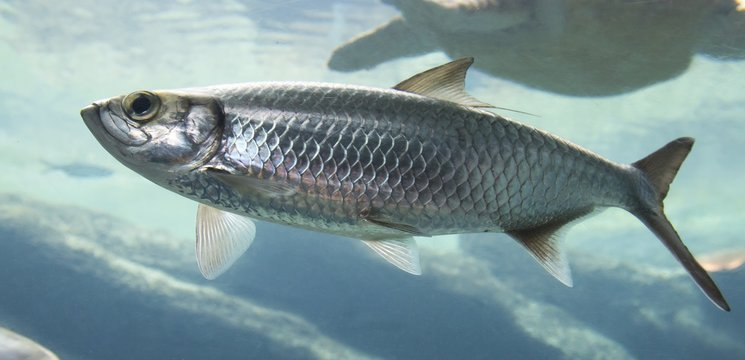 Silver fish with fins swimming in sea water