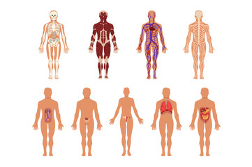 Different human organ system set, muscular, circulatory, respiratory, nervous, digestive, excretory, sexual systems, human body anatomy vector Illustrations