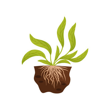 Large leaves with veins. The root system in the soil. Vector illustration.