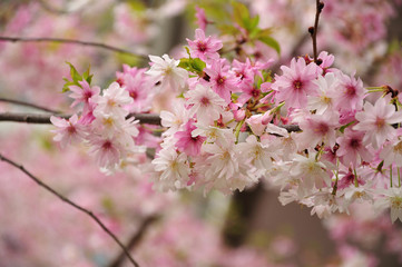 twig of a cherry tree with white and pink blossoms