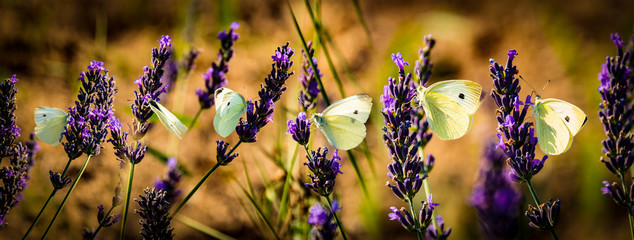white butterfly on lavender flowers macro photo Wall mural