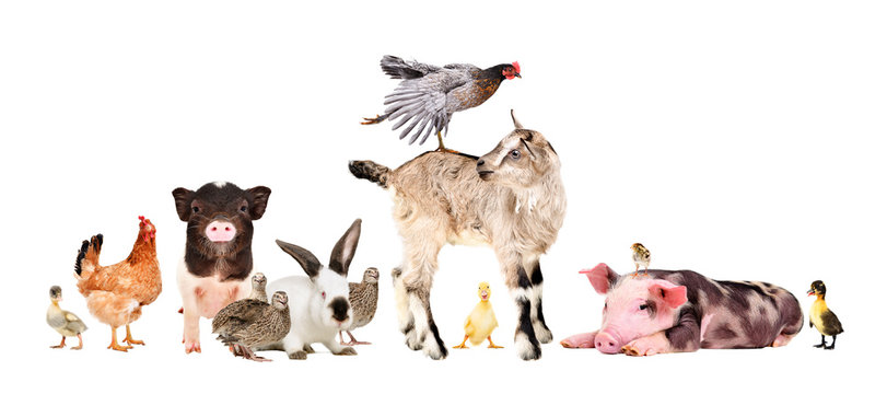 Funny group of farm animals isolated on white background