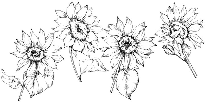 Vector Sunflower floral botanical flowers. Black and white engraved ink art. Isolated sunflower illustration element.
